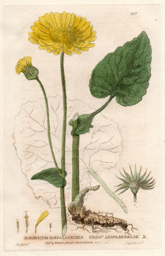 Great Leopards Bane George Baxter Botanical Print